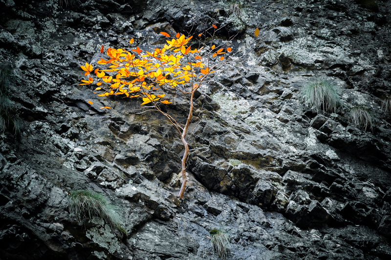 Tree with orange leaves grows on a stone slope of a cliff. Overcoming difficulties and survival under difficult conditions.